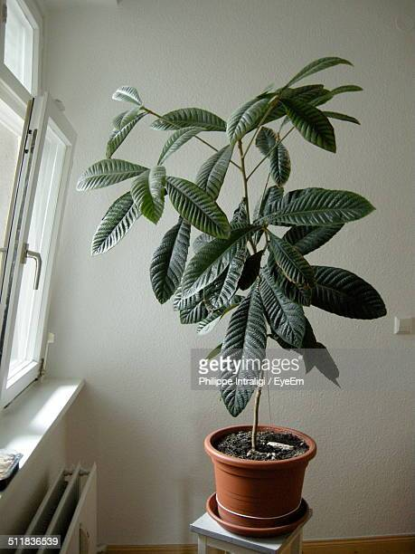 Indoor plant in flowerpot