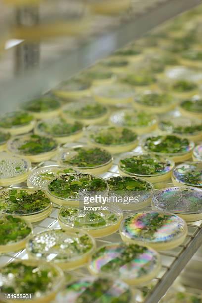 industrial restauration: Violet de la culture du vitro de Pétri