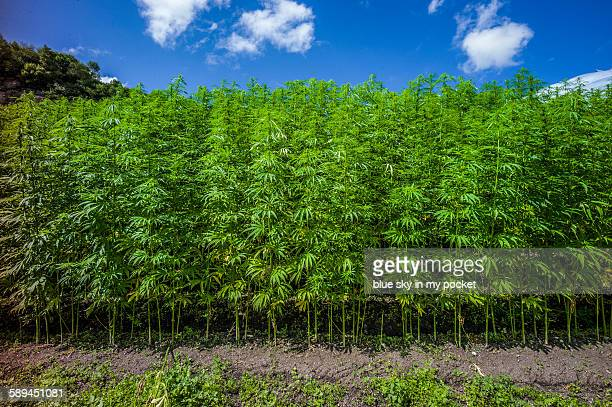 Industrial hemp crop