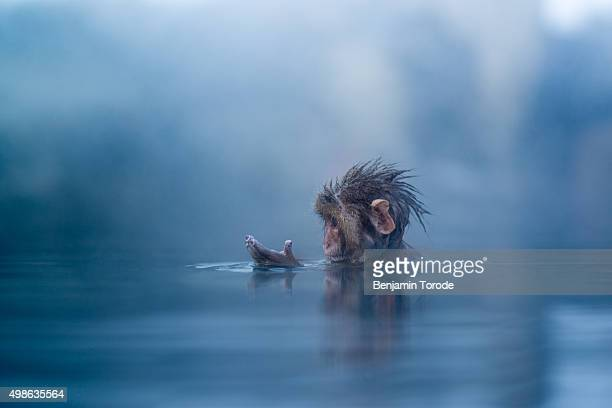 Infant Japanese snow monkey bathing in hot spring in Jigokudani in Nagano Prefecture