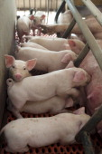 Infant pigs nurse in a fallowing barn at a farm in Chiyoda Town Gunma Prefecture Japan on Sunday July 8 2012 Japan aims to boost its food...