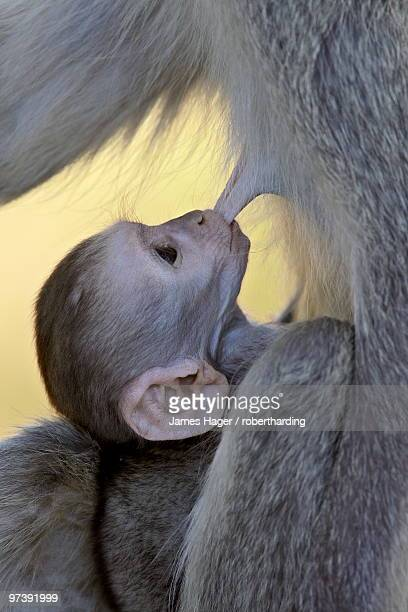 Infant Vervet Monkey (Chlorocebus aethiops) nursing, Kruger National Park, South Africa, Africa