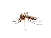 Macro Photo of Infected Mosquito Bite Isolated on White