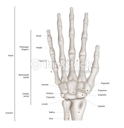 Enjoyable Infographic Diagram Of Human Hand Bone Anatomy System Anterior View Wiring Cloud Hisonuggs Outletorg