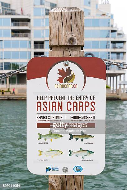 Information board at seafront about Asian Carps entry Asian carp are an invasive species Some species of Asian carp cause harm when they are...