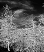 Infrared filtered digtal image of a forest at Cape Disappointment State Park in Illwaco Washington