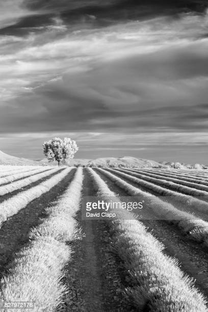 Infrared olive tree and lavender in Provence, France