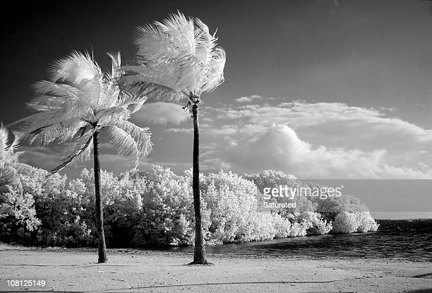 Infrared Palm Trees on Florida Beach