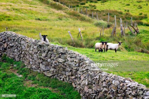 Inishowen Peninsula, Stone wall, fence and sheeps