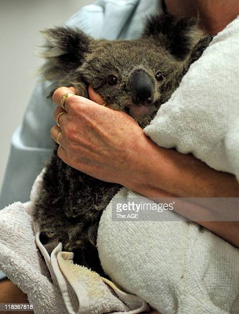 Injured willdlife being treated and cared for at Healesville Sanctuary due to last weeks bushfires Baby Koala with burnt feet