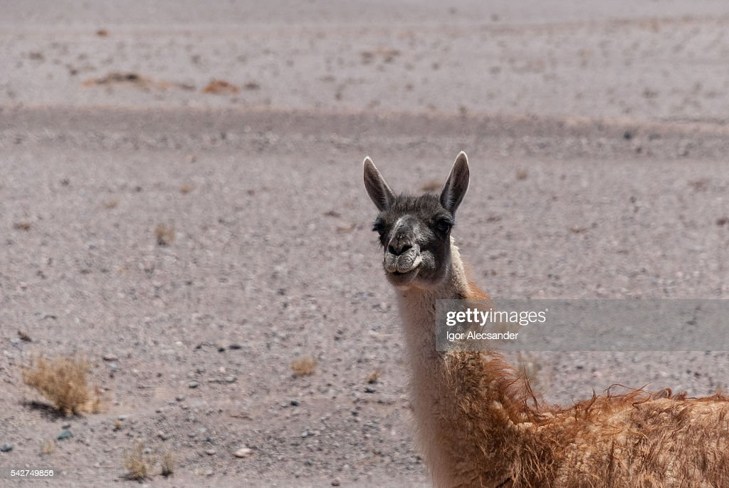 Injuried guanaco (Lama guanicoe) on the Atacama Desert,Calama, Antofagasta, Chile