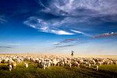 Inner Mongolia, lambs in sunset