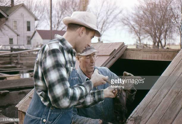 inoculating baby pigs 1960, retro