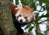 Inquisitive Asian Red Panda