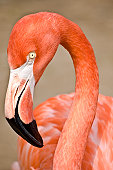 Inquisitive Flamingo