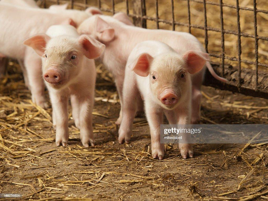 Inquisitive little pigs