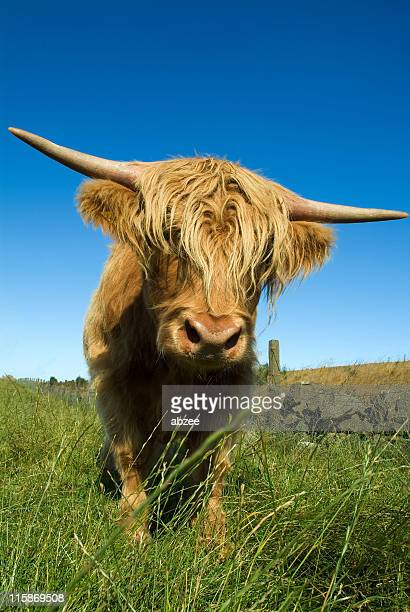 Inquistive Highland Cow, very close up