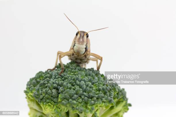 Insect eat a  broccoli