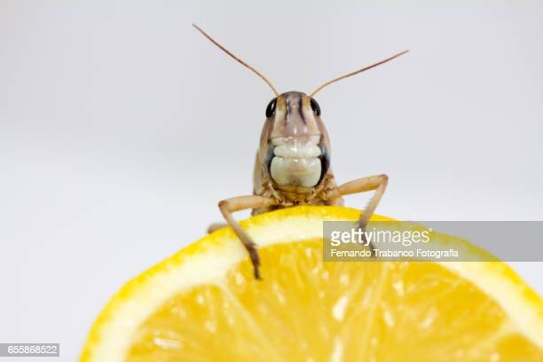 Insect eat a  Lemon