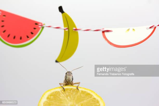 Insect eat a  Lemon Under a wreath of various fruits, fruit macedonia
