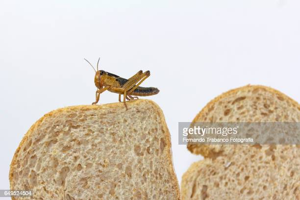 Insect eating toast of bread