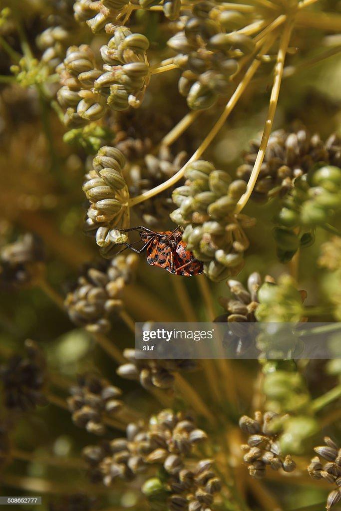 Insect Graphosoma lineatum - Insecto Graphosoma lineatum : Stock Photo