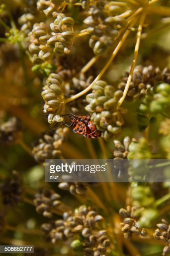 Insect Graphosoma lineatum - Insecto Graphosoma lineatum : Stock Photo