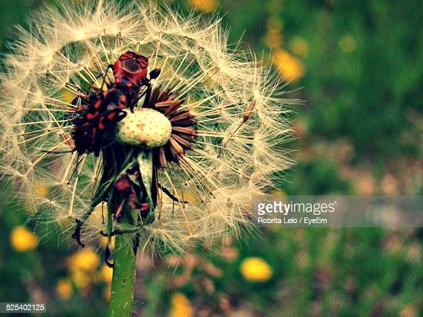Insect On Dandelion In Forest
