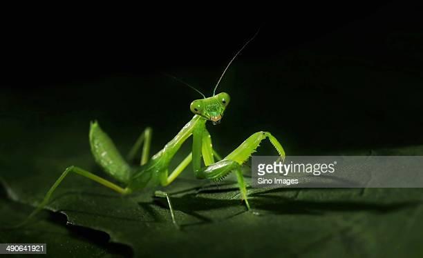 Insect Praying Mantis