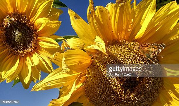 Insects On Sunflowers Blooming Outdoors