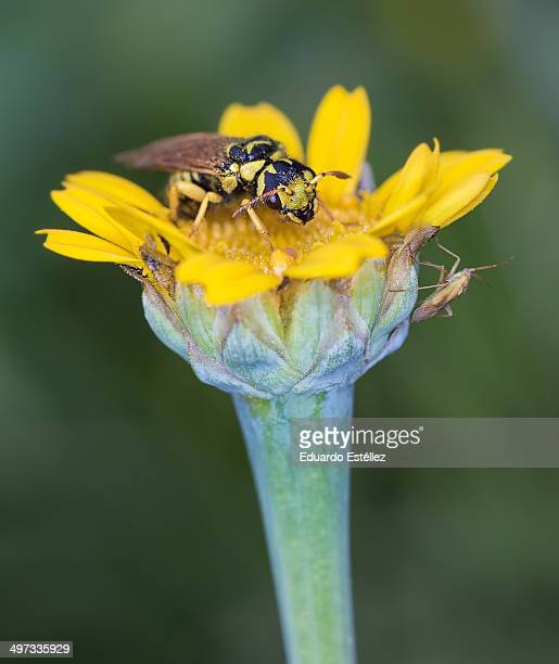 Insects on yellow daisy