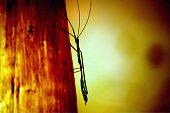 inseto Bicho-pau, Bactridium grande,