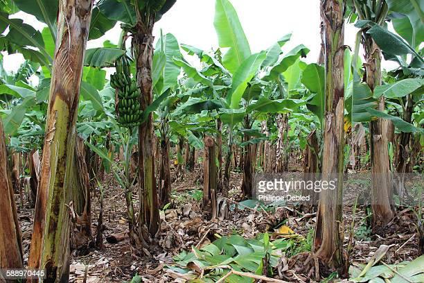 Inside a banana tree plantation