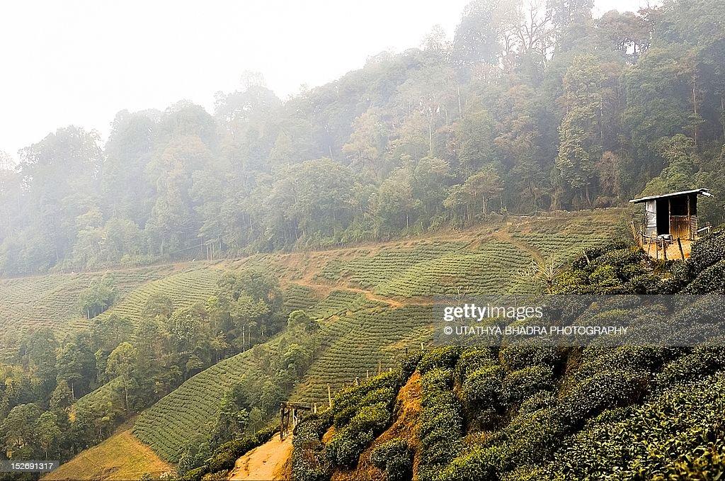 Inside Darjeeling tea plantation