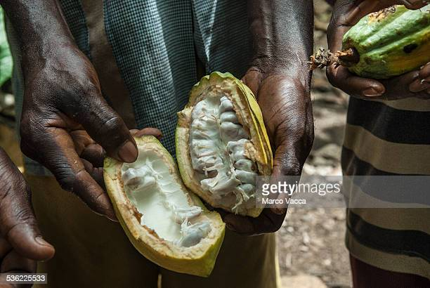 Inside of a cocoa fruit