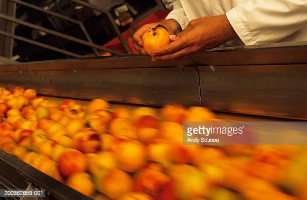 Inspecting  peaches on conveyor belt