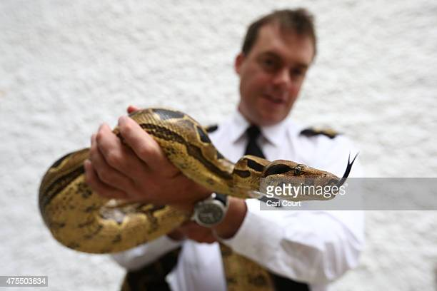 RSPCA inspector Andrew Kirby handles a Boa Constrictor at the Royal Society for the Prevention of Cruelty to Animals reptile rescue centre on May 29...