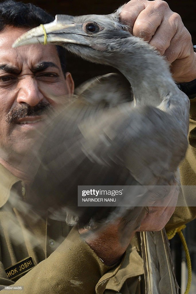 Inspector from the Indian Society for the Prevention of Cruelty to Animals (SPCA), Ashok Joshi holds an injured Grey Hornbill which was entangled in kite strings, in Amritsar on January 31, 2013. The Indian Grey Hornbill is a common hornbill found on the Indian subcontinent and is commonly sighted in pairs.