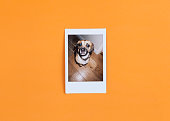 Cute Puggle dog in retro styled instant photo frame on vibrant orange background and photographed over head