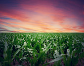Intense Sunset over Kansas Cornfield