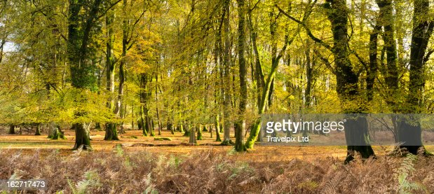 Interior of a beech forest, Hampshire, UK : Stock Photo