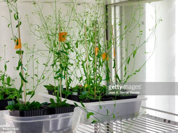 Interior of a fitotron with three handles of arabidopsis thaliana in a laboratory of molecular biology realizing works of of plantation of seeds modified geneticallys, DNA. Spain.