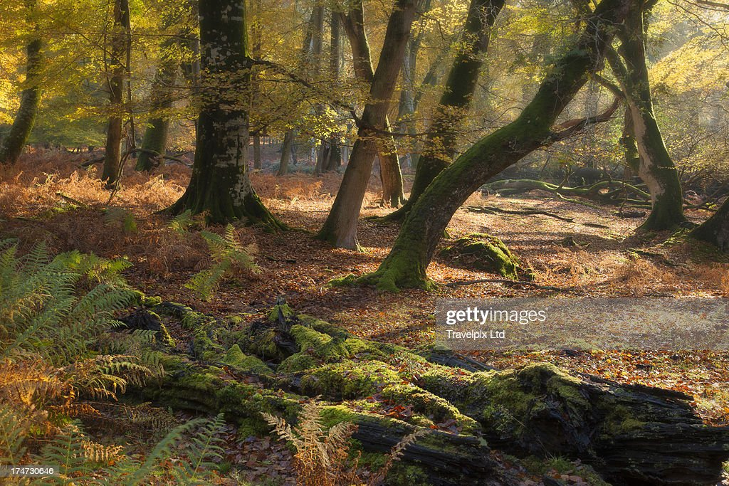 Interior of Beech Forest, New Forest, Hampshire : Stock Photo