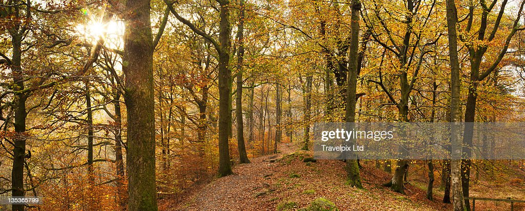 Interior of Beech forest : Stock Photo