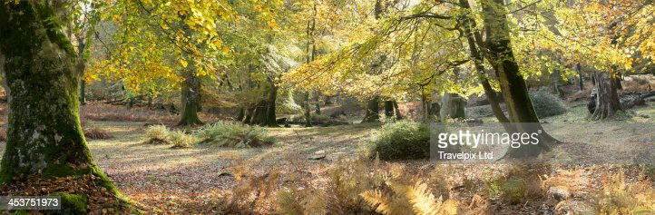 Interior of forest in Autumn, Hampshire, UK : Stock Photo