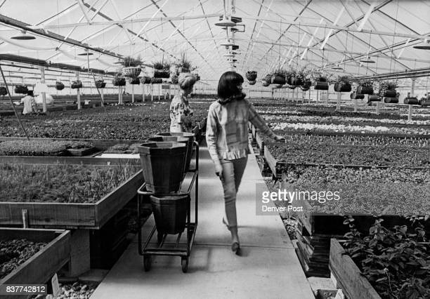 Interior of New Dardano retail greenhouse for bedding plants Credit Denver Post