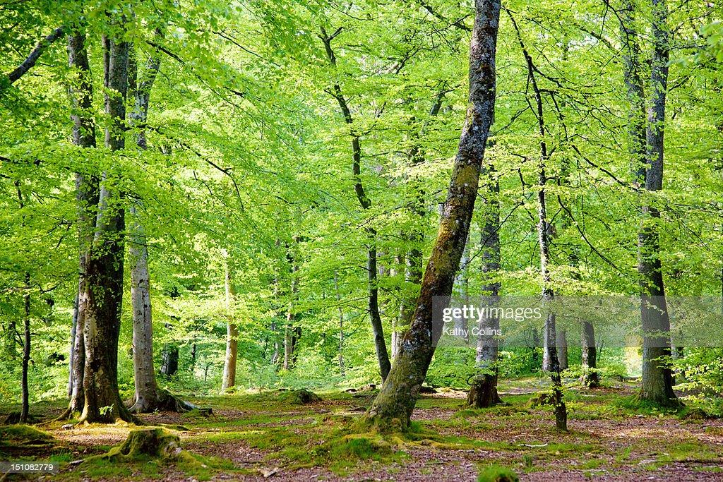 Interior of Scottish spring woodland : Stock Photo