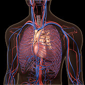 CG image of human anatomy, showing the neck and chest area, heart, lungs, major arteries and veins isolated on black background.