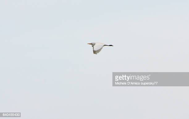 Intermediate Egret flying
