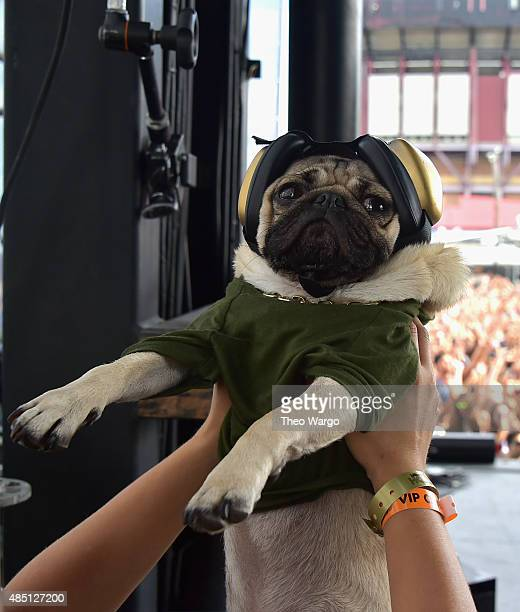 Internet celebrity dog Doug the Pug appears backstage during Billboard Hot 100 Festival Day 2 at Nikon at Jones Beach Theater on August 23 2015 in...